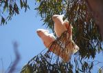 Cockatoo Removal Program